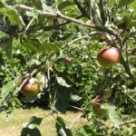Fruitbomen in de tuin van Bed & Breakfast Hoornaar